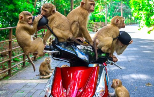 brown monkeys sitting on red automatic scooter